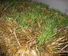 Grassy Weeds In My New Lawn Installation From Straw