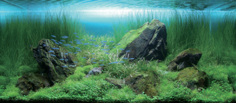 Aqua Forest Aquarium, Osylph Stripes